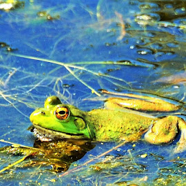 Green Frog Floating on a Blue Reflective Pond in Florida by Sheri Fresonke Harper - Animals Amphibians ( pond, green, frog, blue, reflective, florida, sheri fresonke harper, float,  )
