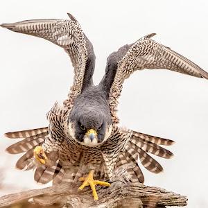 77 female falcon.jpg