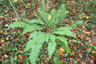 Photo: Polystic à soies, Garra (Polysticum setiferum) abondant dans les saligas et les sous-bois