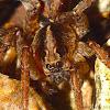 Camouflaged Wolf Spider