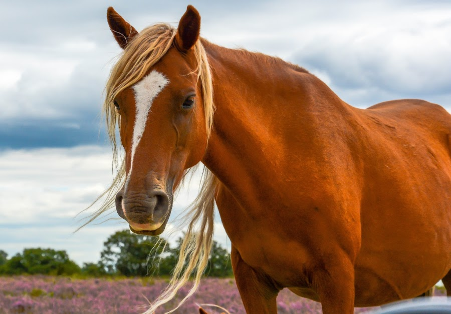 New forest pony by Richard Simpson - Animals Horses ( chestnut, new forest pony, pony, horses, mane, ponies, horse, new forest )