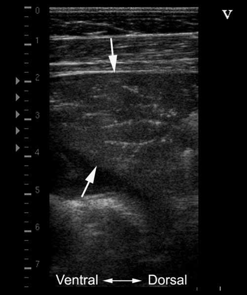 Cranioventral consolidation in a foal with pneumonia