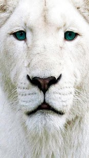 White Lions Wallpapers - náhled