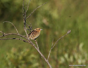 Photo: Le Conte's Sparrow, Alberta's boreal forest, by David Wimpfheimer