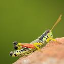 Post Oak Grasshopper
