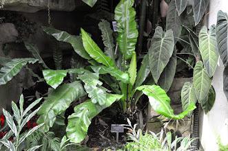 Photo: Asplenium nidus RHS gardens Wisley