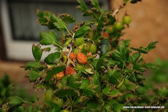 Photo: unsere Stachelbeeren sind krank....