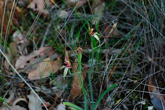Photo: Caladenia macrostylis?