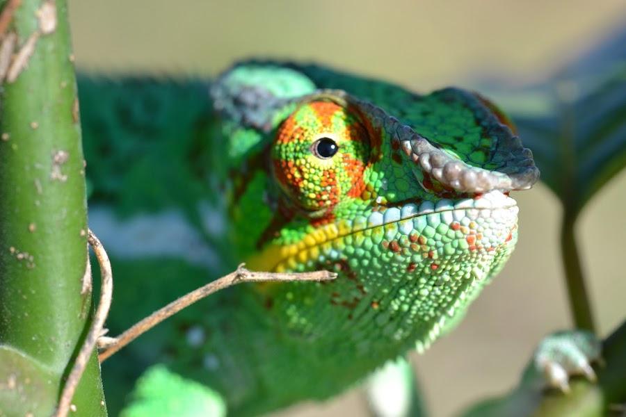 by Gianluca Gualtieri - Animals Reptiles
