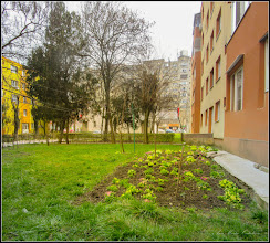 Photo: Primule (Primula) - de pe Calea Victoriei, Nr.11,13 - spatiu verde - 2018.03.26