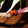 Two Spotted Ladybird