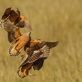Sand grouse by Tobie Oosthuizen - Animals Birds ( sand grouse )