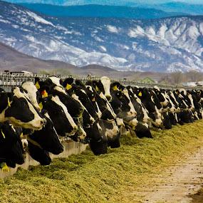 Lunch by David Short - Landscapes Mountains & Hills ( san juans, colorado, cows )