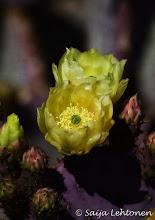 Photo: Good night........:)  Saija Lehtonen Photography  #PricklyPearCactus #CactusFlowers #Flowers #Floral #Nature #Photography #Arizona