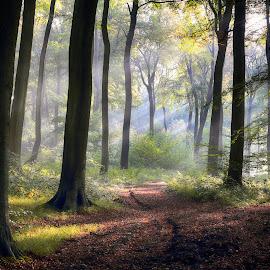 September Morning Woods by Ceri Jones - Landscapes Forests ( forest, september, chilterns, beech, woodland, woods, trees, oxfordshire )