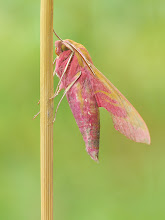 Photo: Deilephila elpenor, Grand sphinx de la vigne, Elephant Hawk-moth  http://lepidoptera-butterflies.blogspot.com/