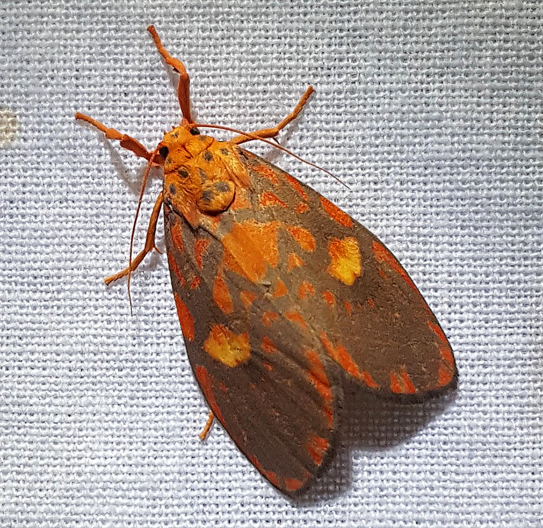 Barsine Moth