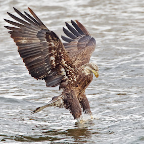 In With Both Feet by Mark Theriot - Animals Birds ( water, wings feet, eagle, bald, fishing, juvenile )