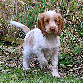 Playing Pup by Chrissie Barrow - Animals - Dogs Puppies ( play, fur, spaniel, puppy, pup, orange roan )