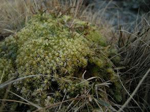 Photo: Blåmose Leucobryum glaucum