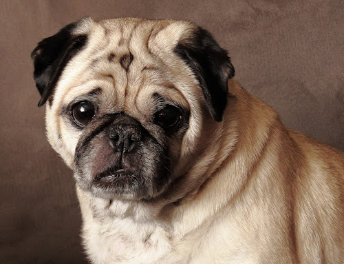 Phoebe by Michele Whitlow - Animals - Dogs Portraits ( phoebe, dog, cute, portrait, pug )