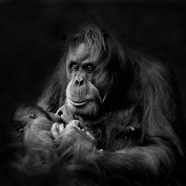 Cherish by Peter Rollings - Animals Other Mammals ( mother, cherish, caring, orangutan, baby, loving,  )