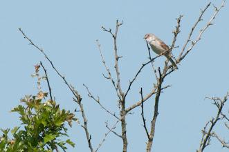 Photo: European Reed Warbler (Teichrohrsänger); Wedel, DE