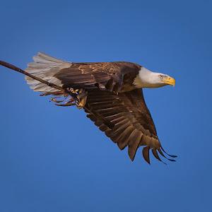 Eagle-with-Stick-F-101713.jpg