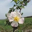 Phoenician rose