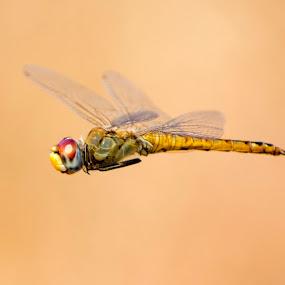 Dragon fly flying in air by Basant Malviya - Animals Insects & Spiders ( dragon fly, flying, insect,  )