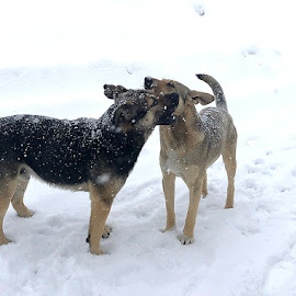 by Abdul Rehman - Animals - Dogs Playing (  )