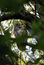 Photo: A poor photo of a Tawney Owl but they are quite secretive and he/she was tucked up in the trees behind loads of foliage.