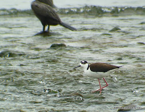 Photo: Black-necked Stilt, Aticama River Mouth, Matanchen Bay