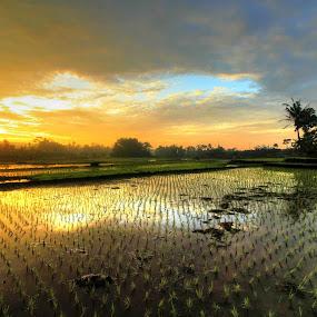 graded sky by Dedi Sukardi - Landscapes Prairies, Meadows & Fields ( sky, rice, sunrise, morning, fields )