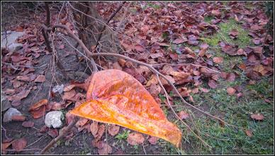 Photo: Gutui (Cydonia oblonga) - Din Piata 1 Decembrie 1918, spatiu verde - 2018.01.09