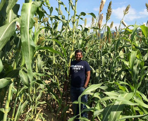 Sorghum, a close relative of corn, tested for disease resistance on Pennsylvania farms