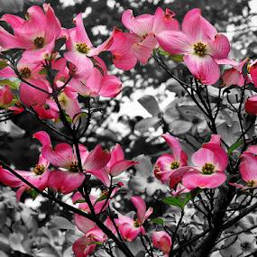 Spring Dogwood by Elaine Tweedy - Nature Up Close Gardens & Produce ( dogwood, spring colorful flowers, tree, flower )