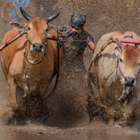 BITE by Teddy Winanda - Sports & Fitness Rodeo/Bull Riding ( west sumatera tourism, minangkabau, indonesia tourism, indonesia, racing cows, pacu jawi )