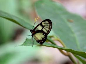 Photo: VARIEGTED TICLEAR--f- godyris zavaleta matronalis--APUYA TRAIL--id by Andrew Neild