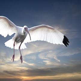 Landing by Harvey  Alan - Animals Birds ( sky, nature, ibis, sunset, birds )