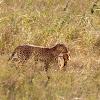 Leopardo (Leopard)