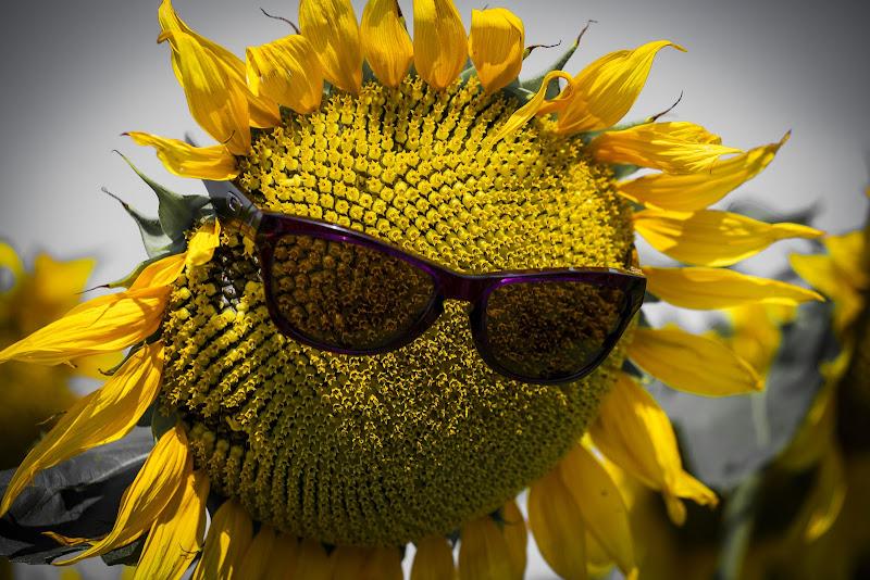 il girasole al sole di Flowers