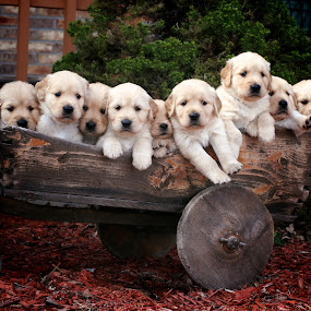 by Julie Anderson - Animals - Dogs Puppies ( retriever, natural light, joy, nine, cute, wheel barrel, natural background, adorable dogs, puppies, curious, nature, happy, baby, animal, animalia, young, portrait, sit, canine, joyful, resting, sitting, animal kingdom, puppy, rest, dog, companion dog, golden, golden retriever )