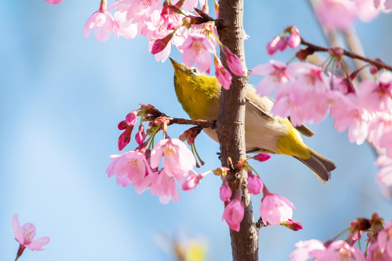 Photo: 花愛でて Loves the Cherry blossoms.  その花は魅了する まわりが見えなくなるほどに 夢中で夢中で 気持ちはもう止まらない  Cherry blossoms and Japanese White-eye. (水元公園の早咲きの桜とメジロ)  #fujisakura #cooljapan #365cooljapanmay  #birdphotography #birds  #kawaii  Nikon D7100 SIGMA APO 50-500mm F5-6.3 DG OS HSM [ Day324, April 1st ] (2枚追加:Added 2 photo)  小鳥の詩朗読 https://youtu.be/rDwM5C91p-g?list=PL2YtHGm0-R3qVsaqvQe9OYdJFCkI98wzF