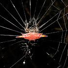 Red Spiny Orbweaver Spider