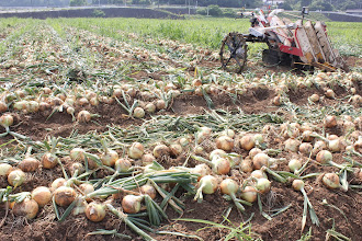Photo: 6月 加工・業務用たまねぎ収穫