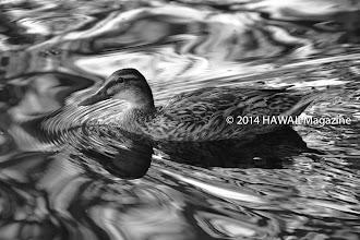Photo: ABSTRACT CATEGORY, FINALIST. Duck swimming at Moanalua Gardens, Oahu. Photo by Leone Papalii, Honolulu, Oahu, Hawaii.