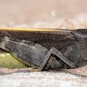 Speckle-winged Rangeland Grasshopper