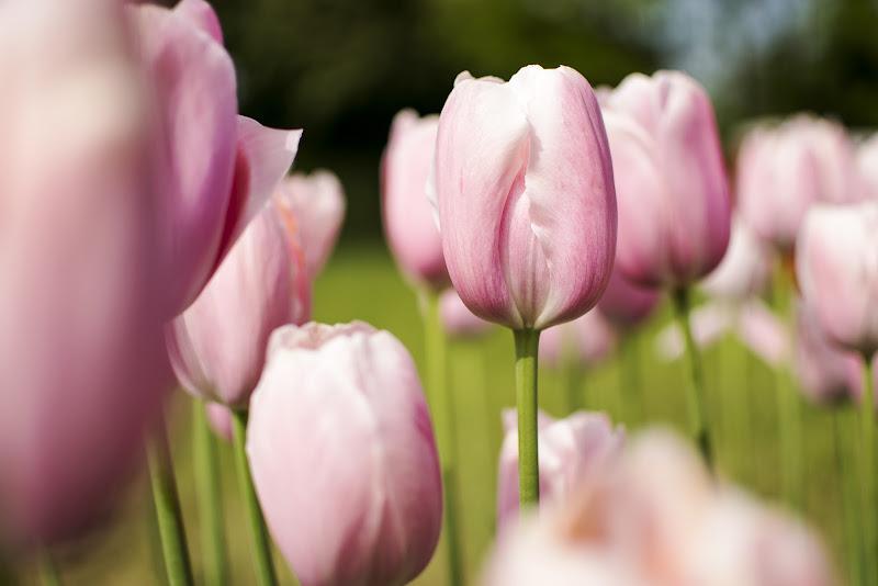 Tulipano di albidelbuono