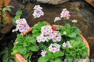 Photo: 拍攝地點: 梅峰-溫帶花卉區 拍攝植物: 櫻草 拍攝日期: 2014_12_17_FY
